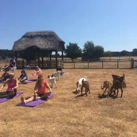 Goat Yoga at Fit East Festival