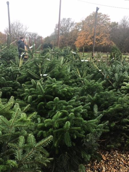 Christmas Trees at Blackthorpe Barn